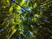 Forest Canopy en bambou photographie stock