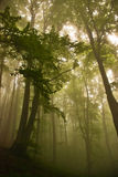 Forest canopy. The interior of a pristine beech forest stock image