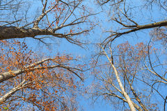 Forest Canopy nella caduta tarda Fotografia Stock Libera da Diritti