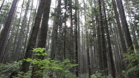 Forest Canopy, pazifisches Nordwest-4K, UHD stock footage