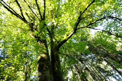 Forest Canopy in the Sun Royalty Free Stock Photos