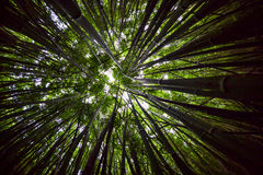 Forest Canopy Wide de bambu, Fisheye Foto de Stock