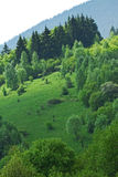 Forest in Carpathian Mountains Stock Photography
