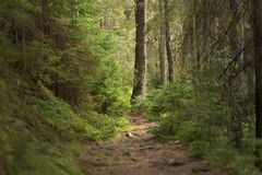 Forest in the Carpathian Mountains. Royalty Free Stock Images