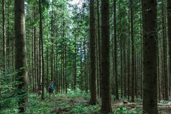 Forest in the Carpathians Stock Photo