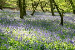 Forest carpet of bluebell flowers royalty free stock images