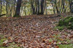 Forest with carpet of leaves and chestnut curls royalty free stock photography