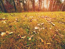 Forest carpet. Old leaves on dry moss in forest. Dry dusty moss, dry pine needles Royalty Free Stock Photos