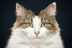 Forest cat. Close-up portrait Royalty Free Stock Photography