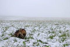 Forest Cat norvégien s'assied en brouillard dans un domaine couvert de neige images stock