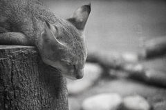 Forest cat. Sleeping cat  in zoo Royalty Free Stock Photography