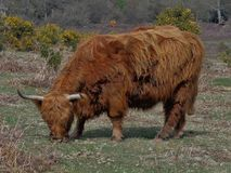Forest Cattle Stock Photos