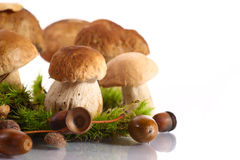 Forest cep. Some mushrooms in the moss on a white background Royalty Free Stock Photography