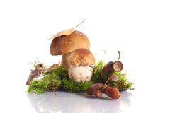 Forest cep. Some mushrooms in the moss on a white background Royalty Free Stock Photos