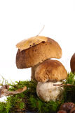 Forest cep. Some mushrooms in the moss on a white background stock photography