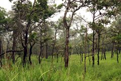 Forest at Chaiyaphum Royalty Free Stock Photo