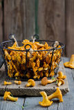 Forest chanterelle mushrooms in a basket Stock Photography