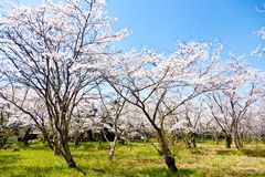 Forest of cherry blossoms. This is a picture of the forest of cherry blossoms was taken to a sunny day Royalty Free Stock Image