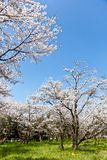 Forest of cherry blossoms Royalty Free Stock Photos