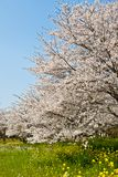 Forest of cherry blossoms. This is a picture of the forest of cherry blossoms was taken to a sunny day Royalty Free Stock Images