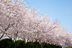 Forest of cherry blossoms. This is a picture of the forest of cherry blossoms on a sunny day Stock Image