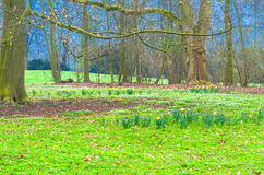 Forest clearing with daffodils Stock Photography