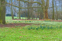 Forest clearing with daffodils Royalty Free Stock Photography