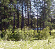 Forest clearing by the lake. High pines, pond. The sunny meadow Stock Photography