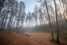 Forest clearing with logs in foggy morning Stock Photography