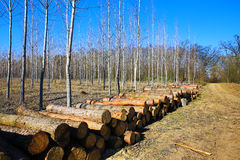 Forest clearing, pile of logs laid. Stock Images