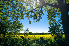 Forest clearing. With a rapeseed field in the background Stock Images