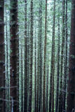 Forest. Closeup of high trees background Royalty Free Stock Photo