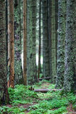Forest. Closeup of trees in thick forest Stock Photography