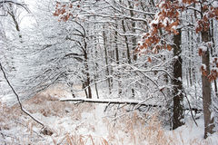 Forest coated with snowfall. Royalty Free Stock Images