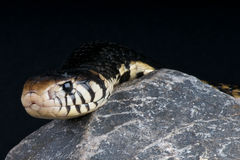 Forest cobra Stock Photography
