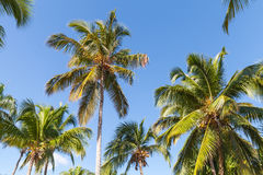 Forest of coconut palm trees over blue sky background Royalty Free Stock Images