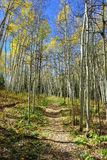 Forest with colorful aspen during foliage season Royalty Free Stock Image