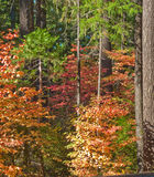 Forest with colorful leaves on trees. Autumn colored red and yellow leaves on trees in forest Royalty Free Stock Image