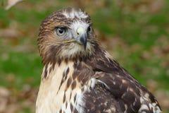 Forest (common) buzzard portrait Stock Photos