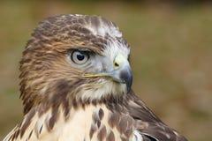 Forest (common) buzzard portrait Royalty Free Stock Photos