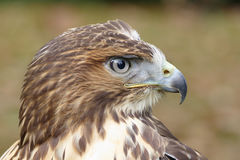Forest (common) buzzard portrait Stock Photo