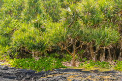 Forest of common screwpine (Pandanus utilis) and lava field Stock Photos
