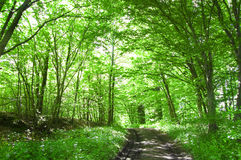 Forest conceptual image. Path in the green forest Royalty Free Stock Images
