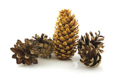 Forest cones Stock Photo