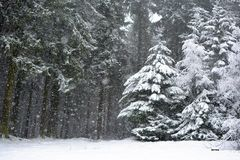 Forest with conifer trees during heavy snow storm in winter royalty free stock photos
