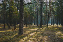 Forest. Coniferous forest in siberia, russia Stock Photography