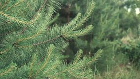 Forest Coniferous Young Tree stock footage