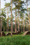 Forest with conifers Stock Photo