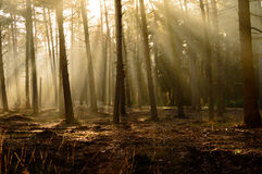 Forest with copy space on ground with sun rays. Nature background of peaceful forest with copy space on ground with sun rays shining through trees Royalty Free Stock Images