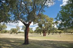 Forest of cork trees Stock Images